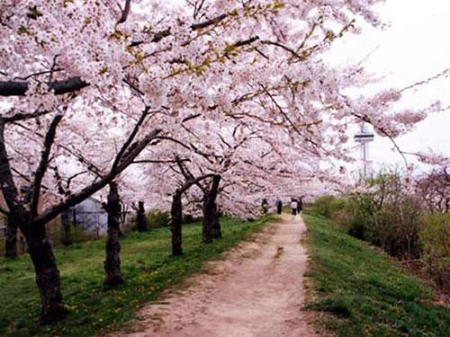 五稜郭公園 桜並木