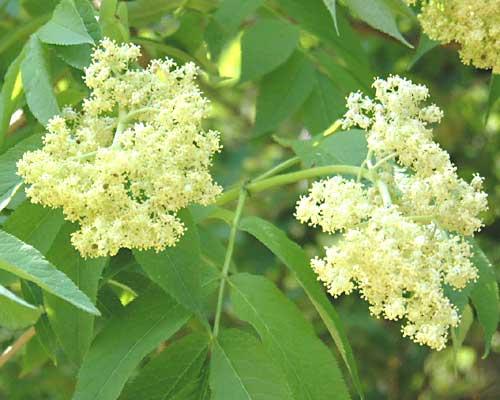 エゾニワトコ(蝦夷接骨木)の花